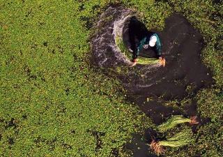 下水採收野蓮