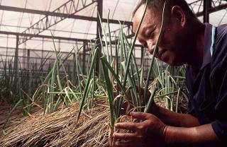積極找尋抗旱品系