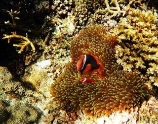 小丑魚躲在海葵裡