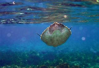 綠蠵龜悠游