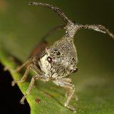 Membracidae_720